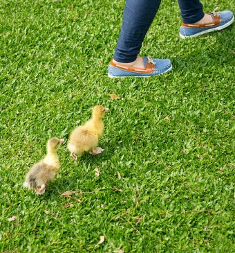 Two ducklings following a pair of women's feet